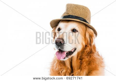 cute red retriever in a brown hat on white background