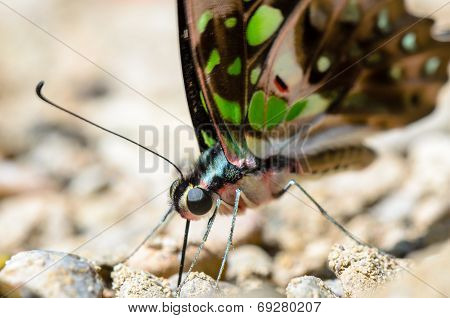 Close Up Tailed Jay Butterfly With Have Green Spots On Wings