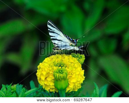 Scarce swallowtail butterfly collects nectar on flower tagetes.
