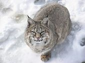 Close-up from above of a Bobcat lynx on snow looking at camera poster