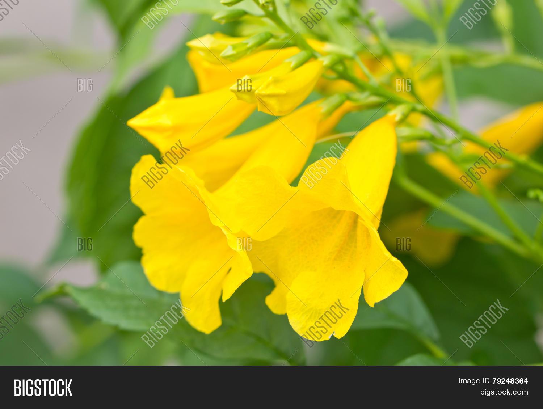 Yellow Elder Yellow Image Photo Free Trial Bigstock