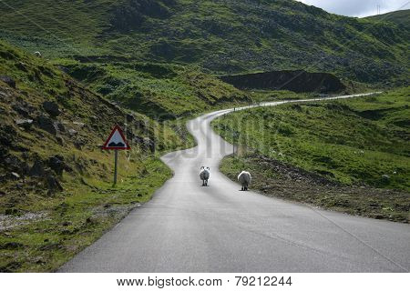 Sheeps On The Road In Scotland