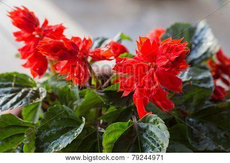 Red Little Flower In Flowerpot