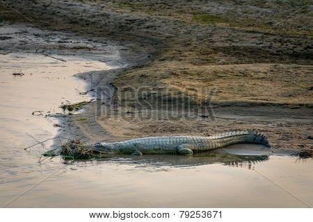 A gharial or fish-eating crocodile in Chitwan, Nepal