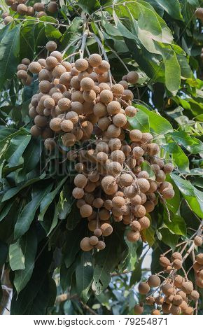 tropical frutis longan on tree in garden