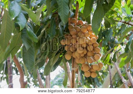 a tropical frutis longan on tree in garden