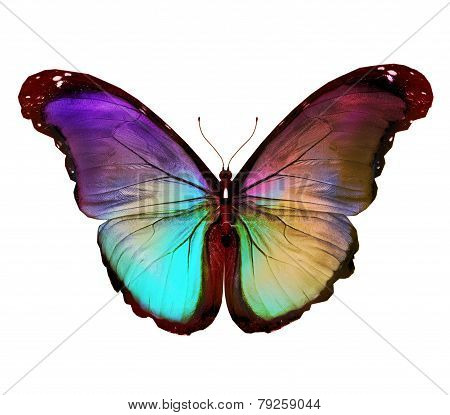 Dark Green Gold Violet Butterfly Morpho, Isolated On White