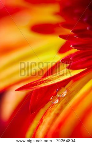 Drops On Red Yellow Gerbera Flower.