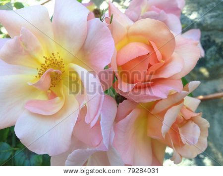 Pink Roses With Yellow Centers