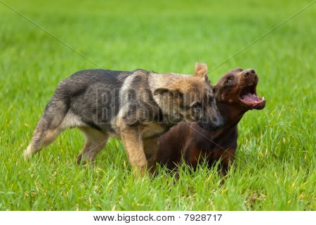 Doberman And Shepherd Puppys Playing In The Grass