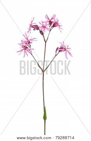 Colorful and crisp image of ragged robin (Lychnis flos-cuculi) poster