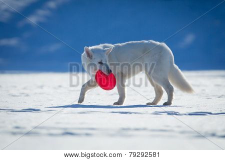 White dog walking on snow with frisbee in his mouth.