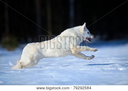 White Swiss shepherd dog in winter.