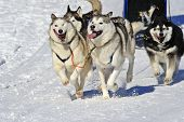 Close up of a sled dog team in full action heading towards the camera. Space for text in the snow to the bottom left of image. poster