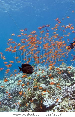 Coral Reef With Shoal Of Fishes Scalefin Anthias ,underwater