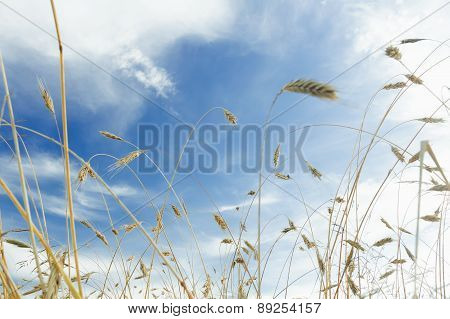 Snowy White Cirrus Clouds And Blue Sky Above Ripening Barley Cereal Ears Field