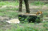 Thailand animal park: A tiger is taking an afternoon Nap in the tub poster