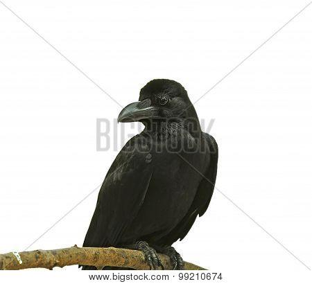 Black Bird (Large-billed Crow) on a branch