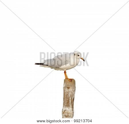 Seagull On A Tree Stump Isolated On White Background