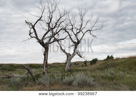 Dead Plains Cottonwoods