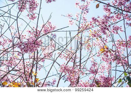 Flowering apricot tree