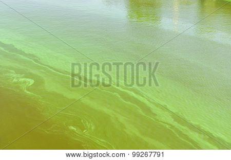 Big Ukrainian river Dnepr covered by Cyanobacterias
