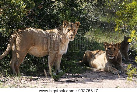 The Lion's Den - African Lions