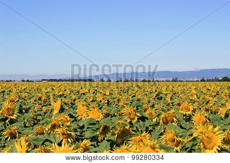 Sunflower Field During Summer