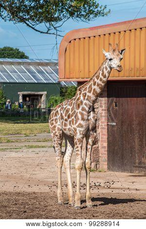 Rothschild Giraffe Three Weeks Old
