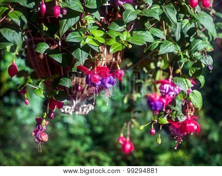 Euonymus Europaeus In Family Celastraceae