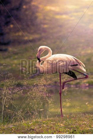 Flamingo in nature