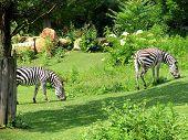tranquil scene of two zebras (equus quagga burchelli) feeding on lush vegetation poster