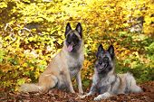 A portrait of two belgian shepherds photographed in an autumnal forrest poster