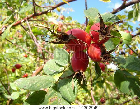 Foursome Rosehips