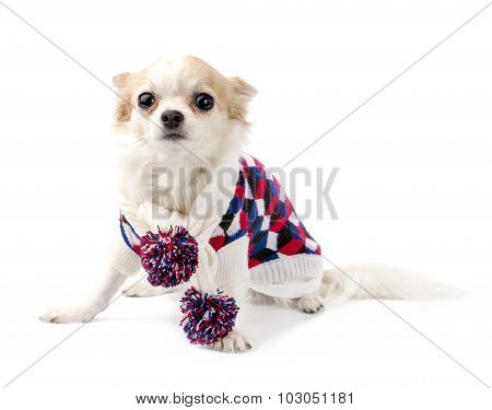Chihuahua dog wearing knitted scarf with colorful pompoms and turtleneck sweater