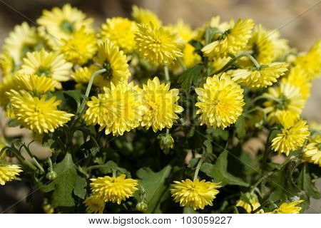Yellow Chrysanthemum Flowers In Autumn Garden