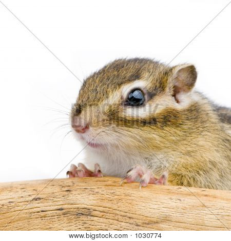 squirrel in front of a whit background poster