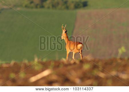 Roe Deer Buck On Agricultural Fields