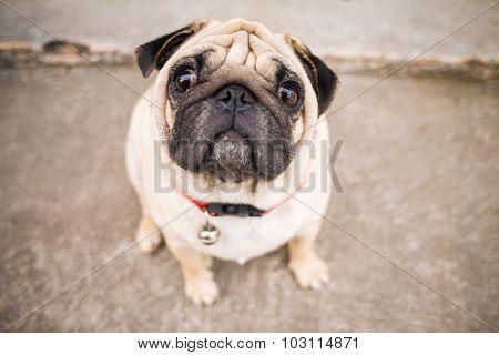 Close Up Of Beautiful Male Pug Puppy