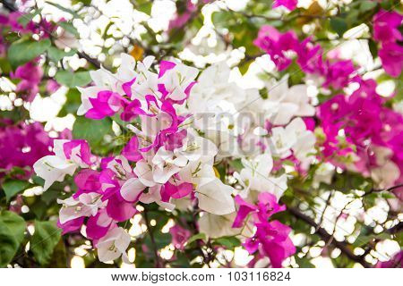 Pink And White Blooming Bougainvilleas