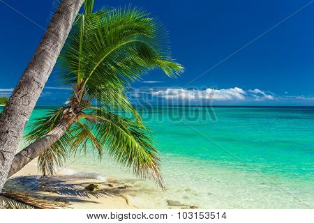 Palm trees hanging over tropical beach on Fiji Islands