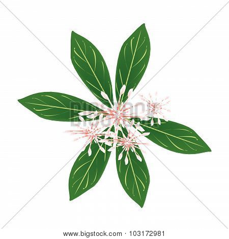 Fresh Rauvolfia Serpentina Blossoms On White Background