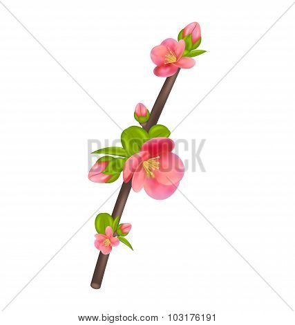 Branch of Japanese Quince Chaenomeles japonica in bloom, isola