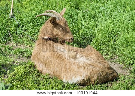 Brown Goat Resting In Grass