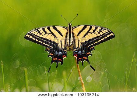 Swallowtail Butterfly On Green Grass