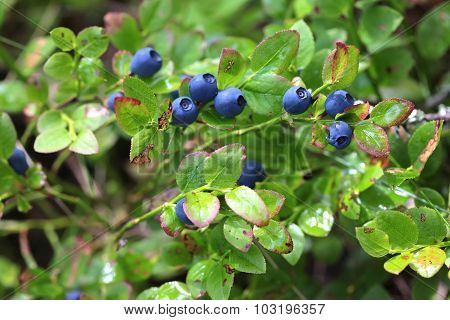 Wild blueberries on the bush in forest. Vaccinium myrtillus