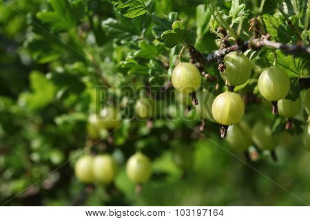 Green gooseberries on the bush. Grossularia