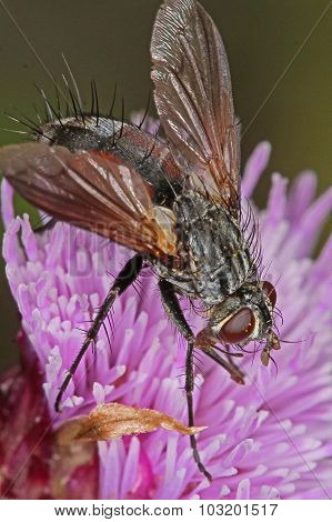 Fly Feeding On An Thistle Flower Head.