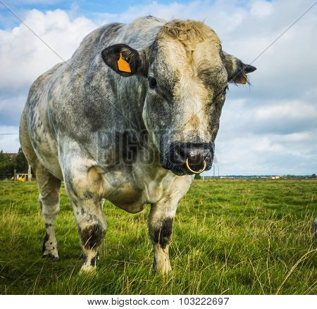 Belgian Blue Bull and Cow on a sunny day, belgium