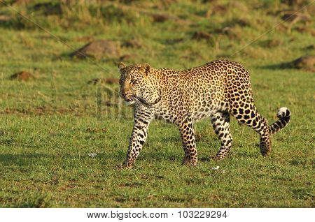 A very relaxed leopard walking across the African plains